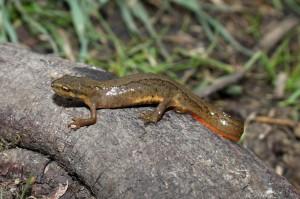 Kleine watersalamander