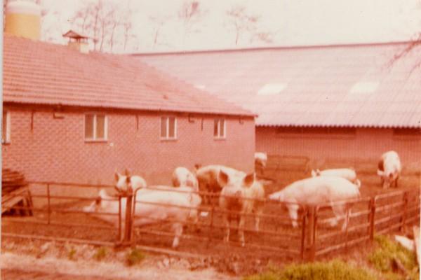 Oude foto met varkens